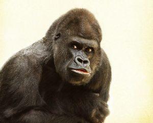 gorilla-448731_1280